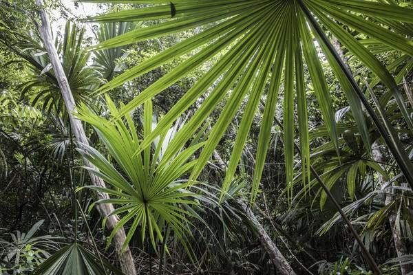 Guatemala, Petén, Palmemblätter