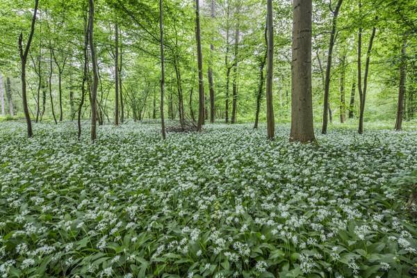 Blühender Bärlauchteppich im Auenwald