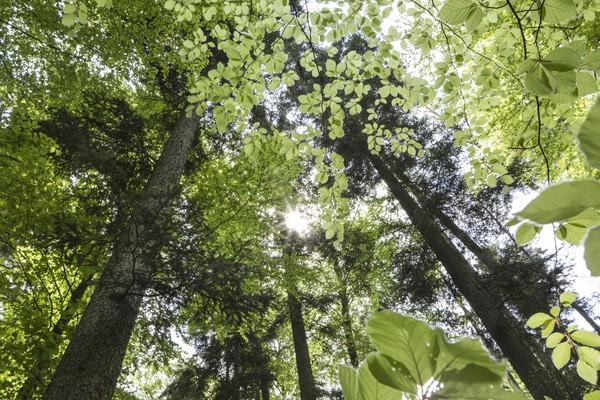 Naturnahe Tannen-Buchen-Mischwälder im Schwäbisch-Fränkischen Wald