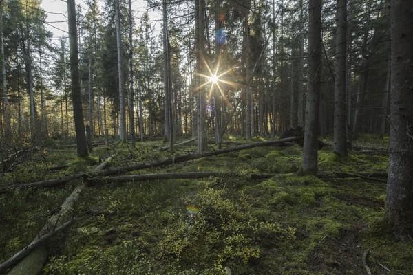Fichten-Moorwald